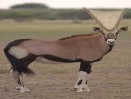 Antilop Yüzü Üzerine Örülmüş Örümcek Ağı