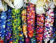 Renkli Mısırlar