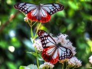 Kelebek Resmi